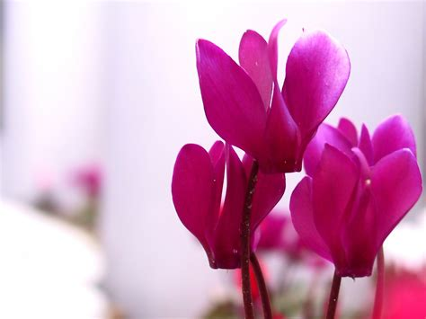 cyclamen color platinum cyclamen pink inkdependence