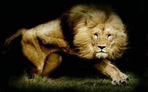 imagenes de animales leon imagenes zt descarga fondos hd fondo de pantalla