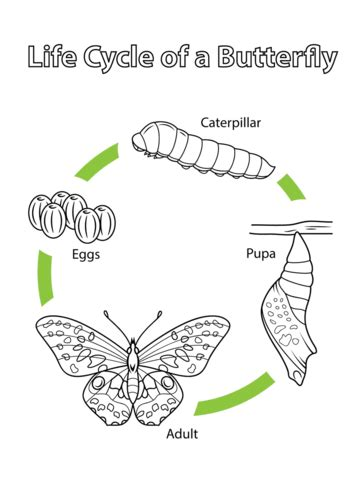 butterfly cycle coloring pages printable life cycle of a butterfly coloring page free printable