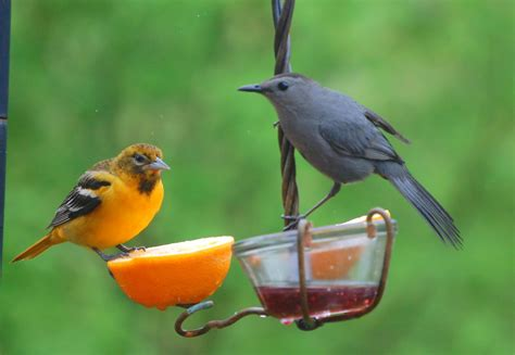 baltimore oriole sound pictures to pin on pinterest