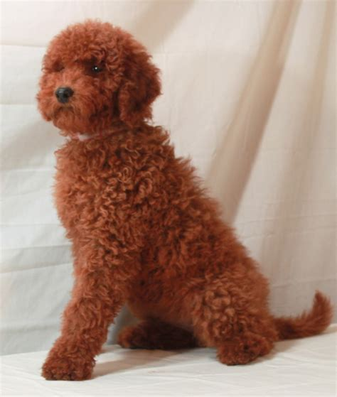 moyen poodle lifespan poodle for sale in california dogs in our