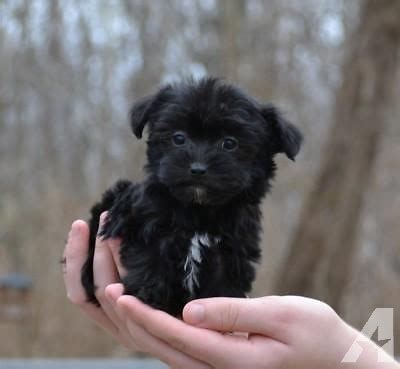 yorkie poo for sale in ohio tiny yorkie poo fur babies for sale in moscow ohio classified americanlisted