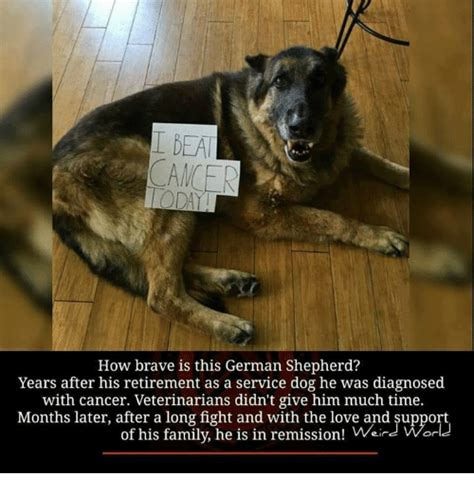 Funny German Shepherd Memes - funny german shepherd memes of 2017 on sizzle dog meme