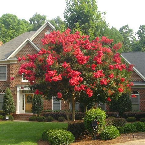 decorative trees for the home crape myrtles quick solutions to common garden problems