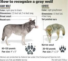 difference between american spirit colors file usfws how to recognise a gray wolf png