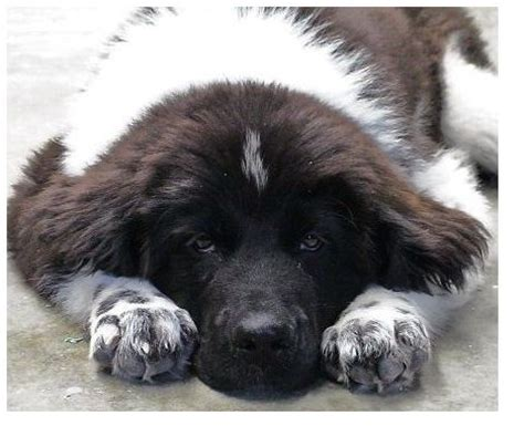 newfoundland puppies cost white newfoundland puppy with black dots jpg