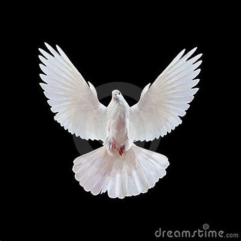 imagenes de palomas blancas en vuelo im 225 genes de paloma blanca im 225 genes