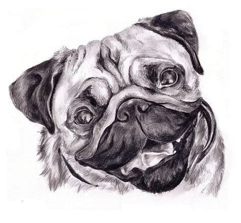 pug sketch pug drawing by gallant