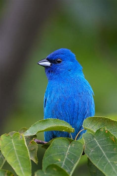 indigo bunting what a beautiful color sky blue bird