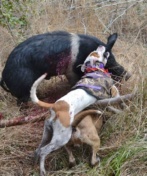 boar s dogs 17 best images about hog doggin on vests american pit and knives