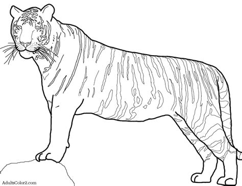 tiger drawing coloring pages