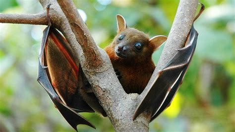 pipistrello volpe volante volpi volanti pteropus scheda completa animali volanti