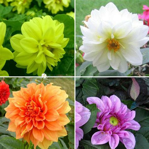 2pcs colorful dahlia large bloom flower bulbs perennials
