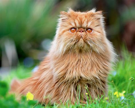 pros and cons of cats pros and cons of 9 different cat breeds petful
