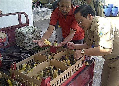 laba rp 14 juta per hari dari bebek hibrida klub burung