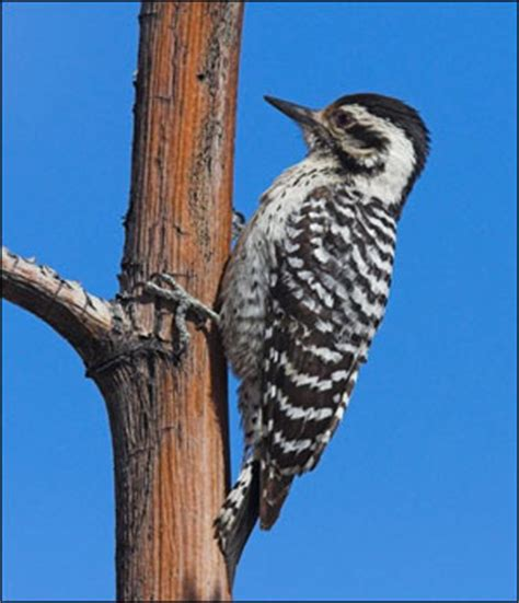 woodpecker on side of house woodpecker biology woodpecker deterrent birds away attack spider