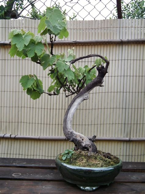 viti in vaso vite bonsai paolo69sa s