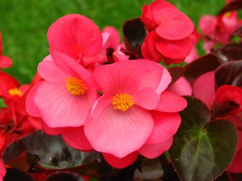 Types Of Garden Flowers - file begonia semperflorens dark pink 01 jpg wikimedia commons