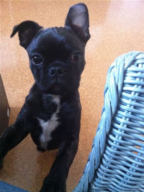 half pug half boston terrier 1000 images about bug dogs on