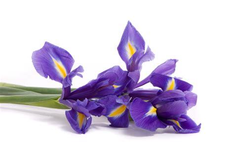 il fiore iris storia iris fiorista