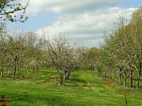 trees nc farmers cultivate apple trees from historic nc