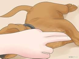 symptoms of murmur in dogs murmur in dogs and their solutions dogs health