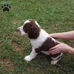 springer spaniel puppies pa springer spaniel puppies for sale greenfield puppies