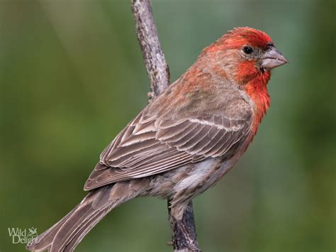 purple finch or house finch house finch wild delightwild delight