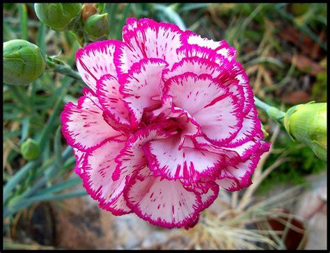 97 carnation flower of andalucia hvk2905 flickr