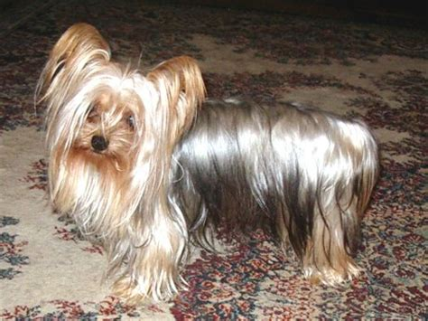 silver blue yorkie silver blue terrier silver terriers pictures breeds picture