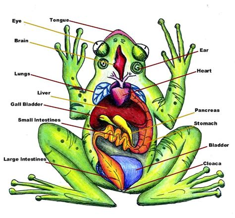 diagrams of frogs diagram of frog anatomy color image