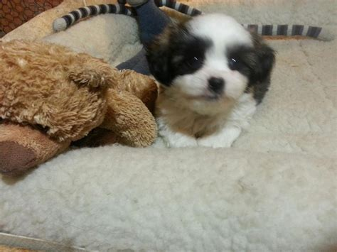 shih tzu puppies for sale vancouver island bichon shih tzu puppies for sale other south saskatchewan location