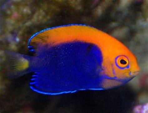 Jumping Beans Tank Stripe Orange flameback angelfish knowledge base lookseek