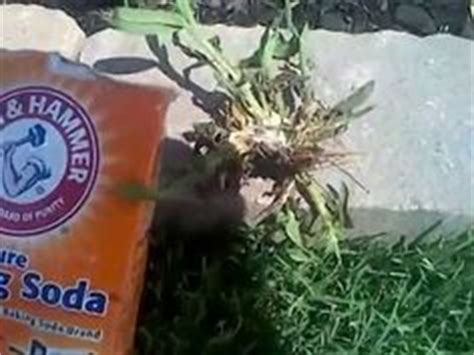 killing crabgrass with baking soda how to kill weeds in the lawn spraying weeds lawn care