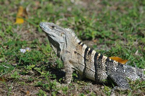 wild herps gray s spiny tailed iguana ctenosaura similis