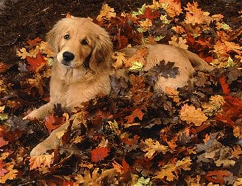 golden retriever season 25 best pet photographer ideas on photography pet photos and