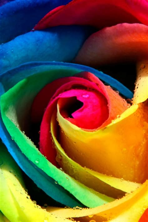 hd rose wallpaper for android phone rainbow rose android wallpaper free download for mobile