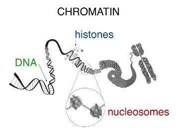 chromatin diagram the nucleus cellopolis