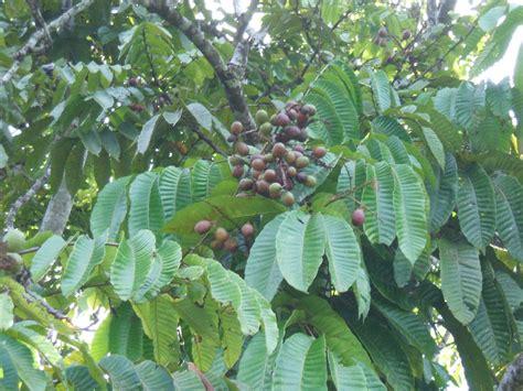 Bibit Pohon Cendana the gallery for gt buah pohon cendana