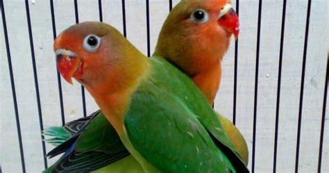 Krodong Lovebird Bukan Murai info burung lovebird si burung cinta