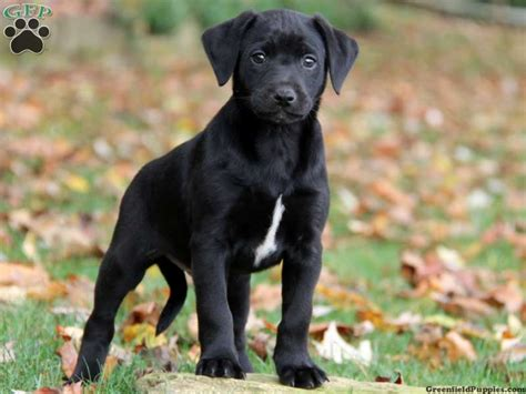 dachshund lab mix puppies for sale image gallery lab mix puppies