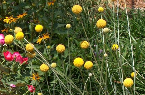 how to grow craspedia growing billy buttons balcony