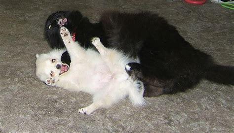 pomeranian and cats pomeranian puppy with cat jpg