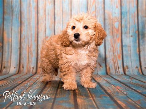 goldendoodle puppy kit goldendoodle mini petland kennesaw