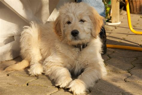 mini doodles ontario mini golden doodle puppy breeds picture