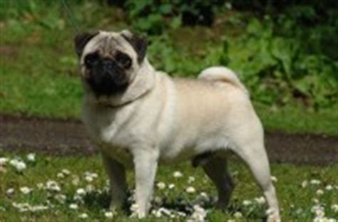 pugs ireland dogs for sale pups for sale ireland view all pups pedigreedogs ie