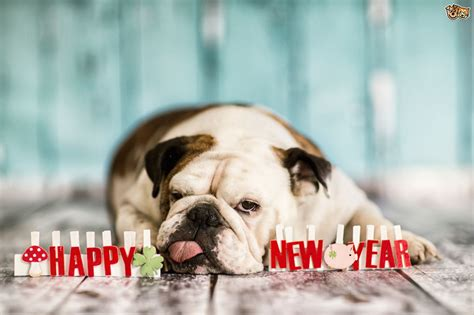 new year for dogs challenges and risks for your on new year s