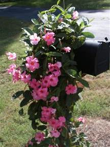 mandevilla colors mandevilla awesome flowering annual vine that comes in