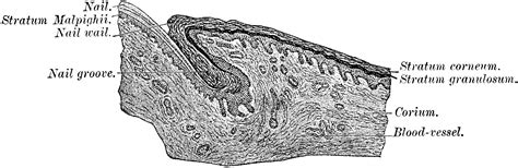 transverse section of skin transverse section through fingernail clipart etc