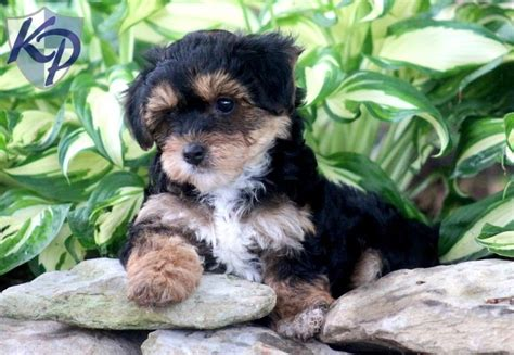 teacup yorkie puppies for sale in uk teacup yorkie poo puppies for sale uk